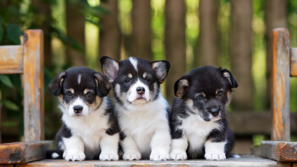 6 Reasons To Get A Puppy From Reputable Breeders 2