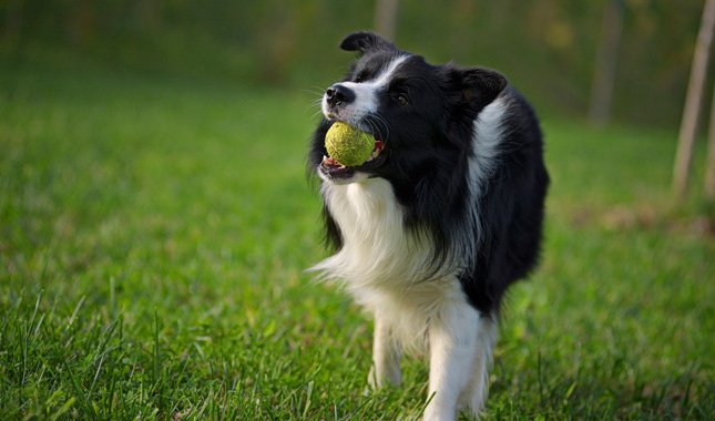 6 Little-Known Facts About A Border Collie 6