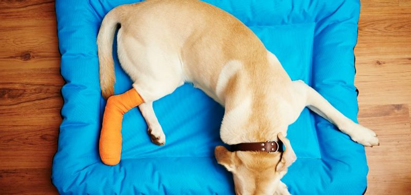 Injured Pup_ 4 Ways to Improve their Recovery