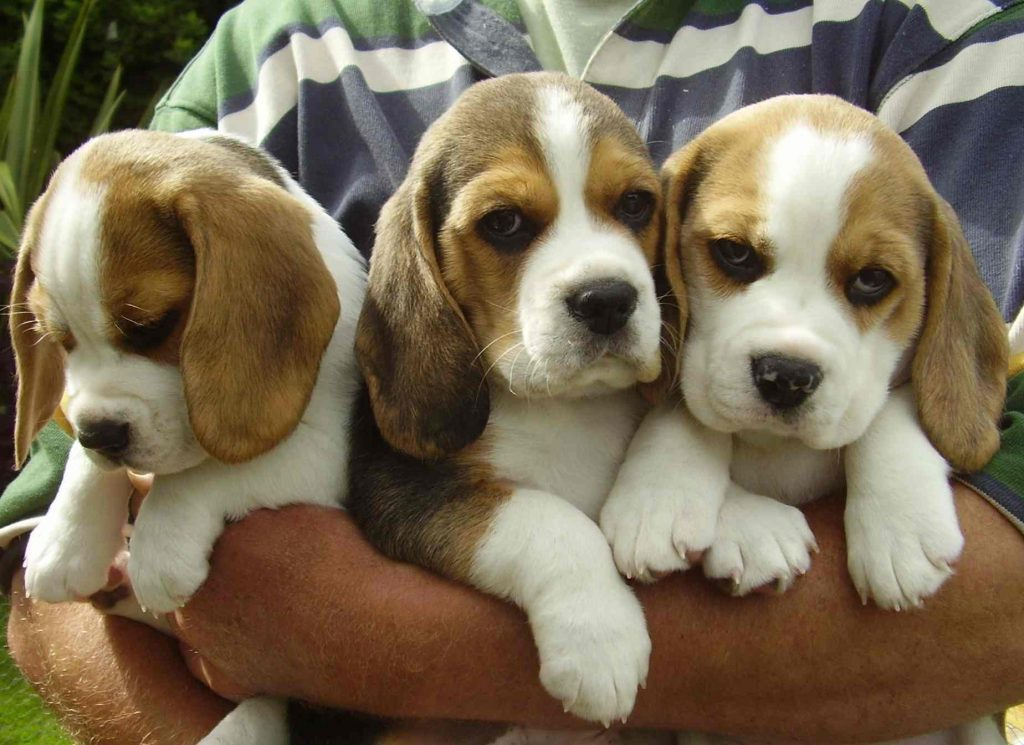 6 Reasons To Get A Puppy From Reputable Breeders 4