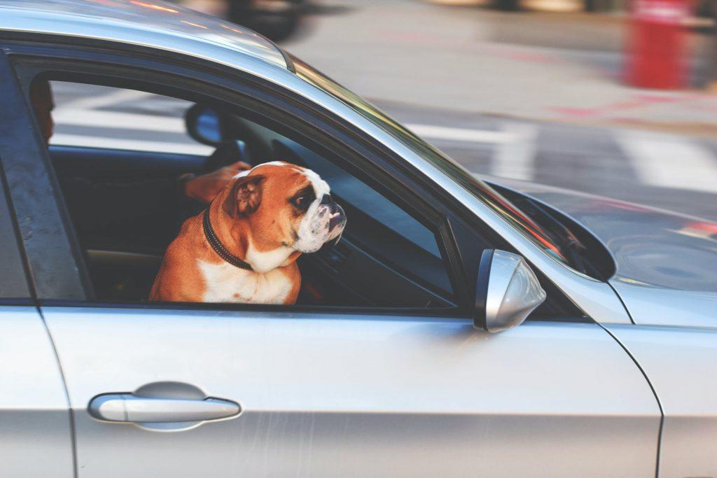 car with dog