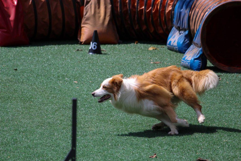 collie running