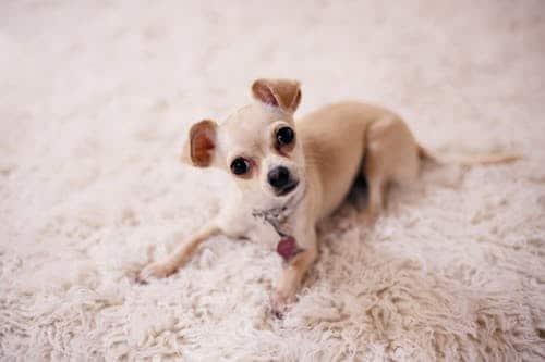 pet friendly carpet