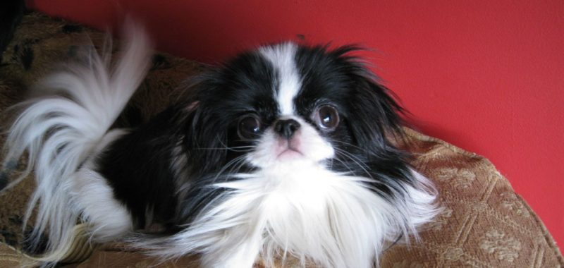 Chin Wa: The Happy, Sassy, and Clever Little Toy Dog