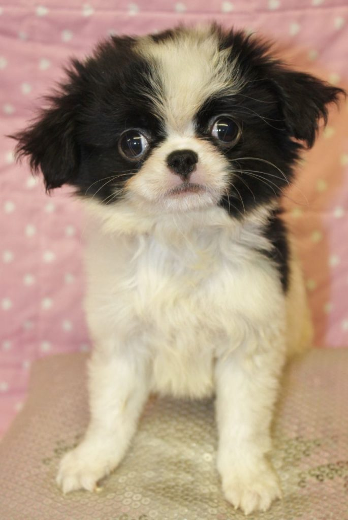 Japanese Chin And Chihuahua Mix