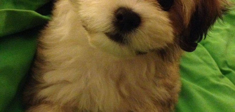 Lachon: your Next Fluffy Cuddle Buddy