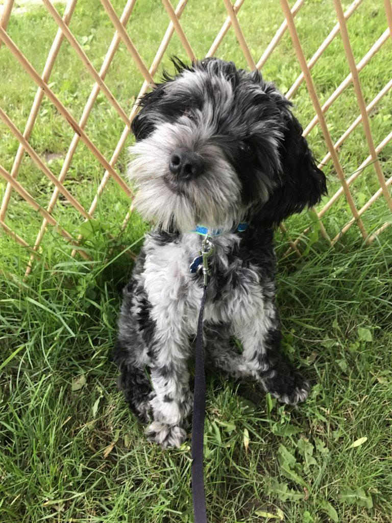Schnocker: An Eager and Excited Puppy