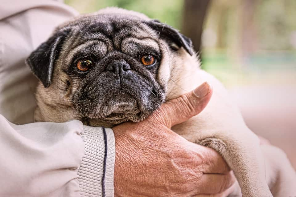 Recognizing Common Diseases In Senior Dogs 21